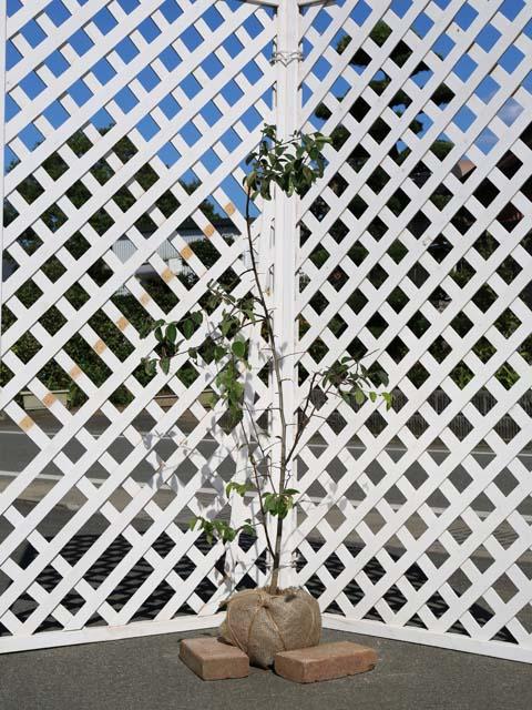 カリン単木 1.2m露地 2本セット 送料無料【1年間枯れ保証】【街路樹&公園樹】