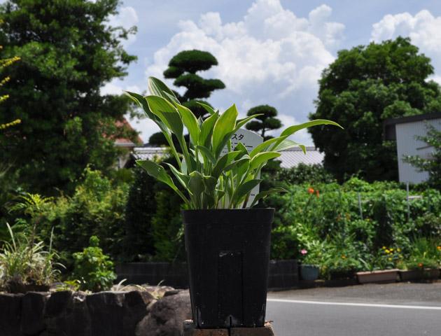 葉柄の長い ギボウシ/ドレスブルー 12cmポット 4本セット 送料無料【1年間枯れ保証】【球根】