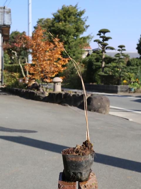 【1年間枯れ保証】【水生植物】カンガレイ 9.0cmポット 6本セット 送料無料