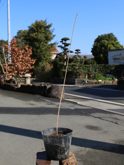 カラコギカエデ 0.3m10.5cmポット 10本セット 送料無料【1年間枯れ保証】【山林苗木】