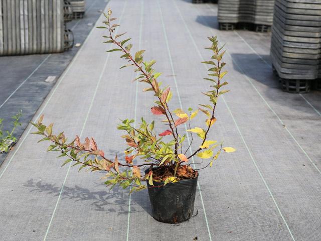 コデマリ斑入り 0.3m10.5cmポット 8本セット 送料無料【1年間枯れ保証】【春に花が咲く木】