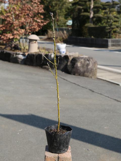 キングサリ 0.3m10.5cmポット 12本セット 送料無料【1年間枯れ保証】【夏に花が咲く木】