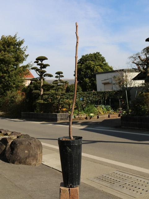 カキ/基肄城(甘柿) 15cmポット  3本セット 送料無料【1年間枯れ保証】【秋に収穫する果樹】