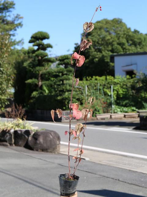 フウリンガマズミ 1.0m12cmポット 4本セット 送料無料【1年間枯れ保証】【葉や形を楽しむ木】