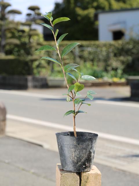 NEW 驚きの値段で ARRIVAL 赤花品種 サザンカ タチカン赤花 0.3m10.5cmポット 1年間枯れ保証 生垣樹木 1本