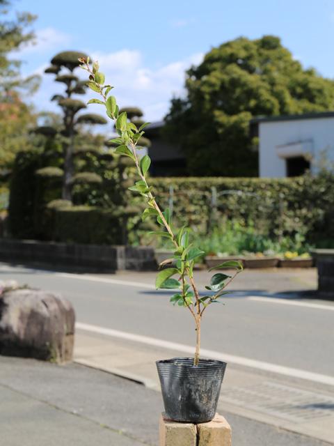 サザンカ/タチカン赤花 0.5m10.5cmポット 40本セット 送料無料【1年間枯れ保証】【生垣樹木】
