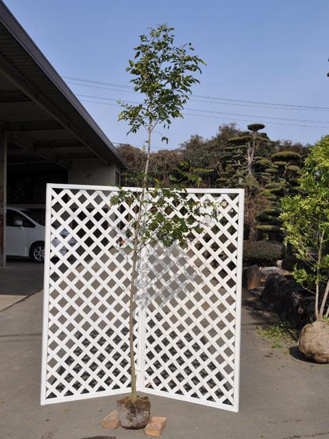 シマトネリコ単木 2.5m露地 2本セット【1年間枯れ保証】【シンボルツリー常緑】【配達指定不可/大型商品】