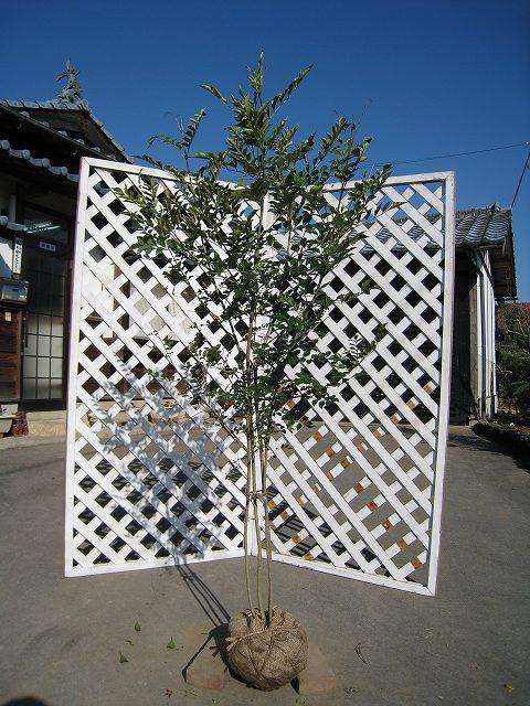 最新アイテム シンボルに人気 シマトネリコ株立ち 1.5m露地 1本 おすすめ 1年間枯れ保証 シンボルツリー常緑