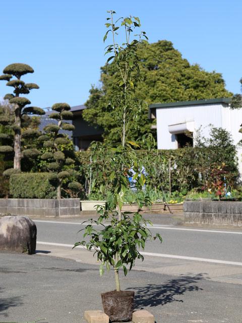青々として人気 シラカシ単木 与え 1.7m露地 2本セット シンボルツリー常緑 1年間枯れ保証 送料無料 2020モデル