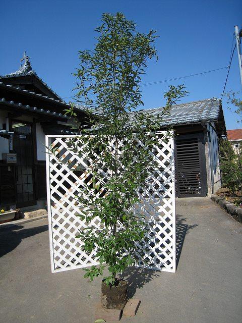 青々として人気 シラカシ単木 2.5m露地 2本セット【1年間枯れ保証】【シンボルツリー常緑】