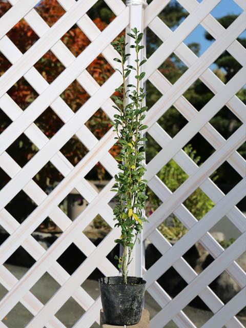 【1年間枯れ保証】【生垣樹木】スカイペンシル 0.4m10.5cmポット 15本セット 送料無料