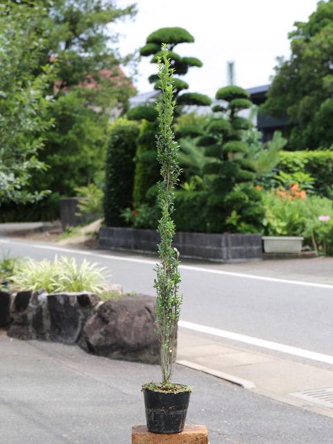 スカイペンシル 0.8m15cmポット 10本セット 送料無料【1年間枯れ保証】【生垣樹木】
