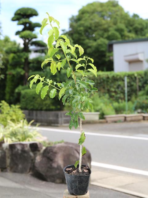 ソヨゴ 0.7m10.5cmポット 12本セット 送料無料【1年間枯れ保証】【葉や形を楽しむ木】