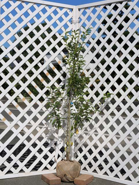 ソヨゴ単木 1.2m露地 2本セット 送料無料【1年間枯れ保証】【シンボルツリー常緑】