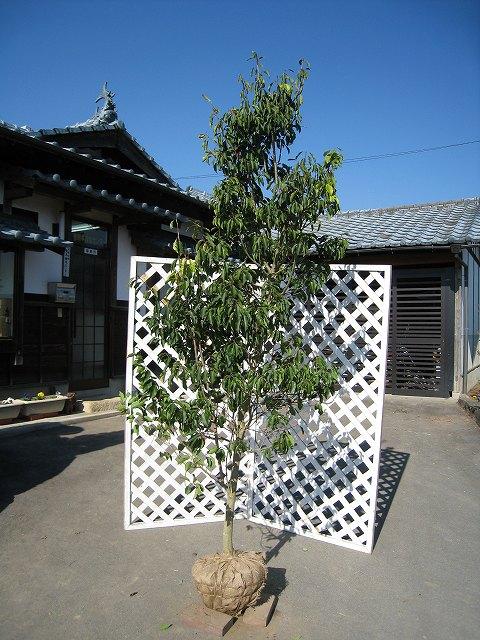ソヨゴ単木 2.3m露地 1本【1年間枯れ保証】【シンボルツリー常緑】