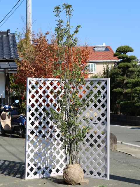 ソヨゴ株立ち 2.3m露地 1本【1年間枯れ保証】【シンボルツリー常緑】