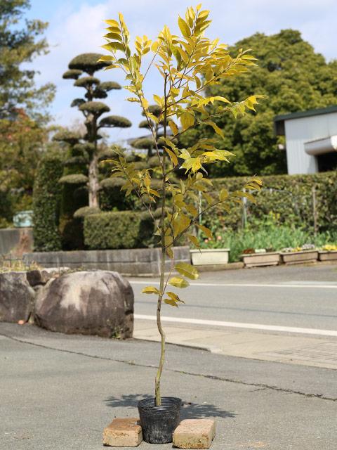 スダジイ 1.0m15cmポット 10本セット 送料無料【1年間枯れ保証】【山林苗木】