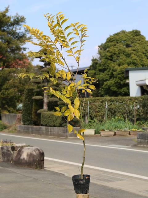 スダジイ 1.5m15cmポット 5本セット【1年間枯れ保証】【山林苗木】