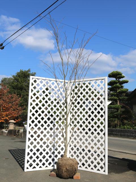 【1年間枯れ保証】【雑木】シラキ単木 2.5m露地 1本