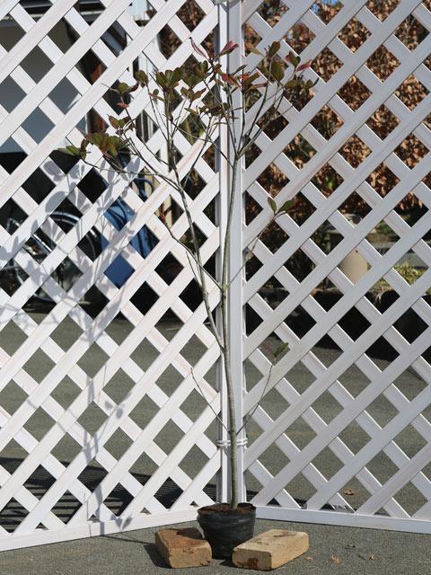 シャリンバイ 1.0m15cmポット 10本セット 送料無料【1年間枯れ保証】【低木】