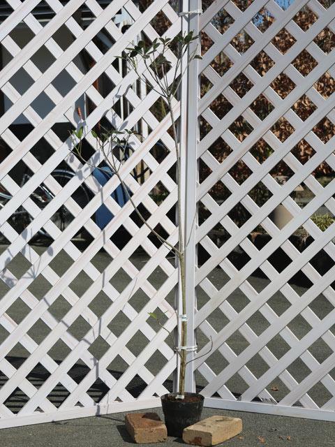 シャリンバイ 1.2m15cmポット 6本セット【1年間枯れ保証】【低木】