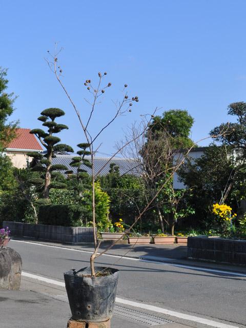 イッサイサルスベリ 0.3m15cmポット 8本セット 送料無料【1年間枯れ保証】【夏に花が咲く木】