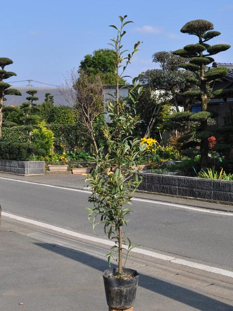 斑入りサカキ 1.2m15cmポット 4本セット【1年間枯れ保証】【葉や形を楽しむ木】