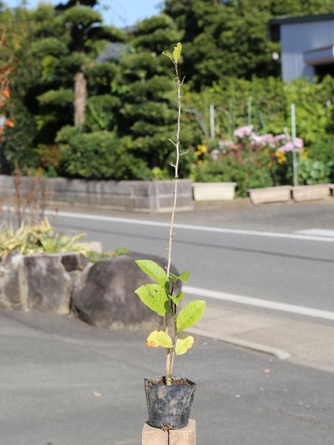 シデコブシ 0.3m10.5cmポット 15本セット 送料無料【1年間枯れ保証】【春に花が咲く木】
