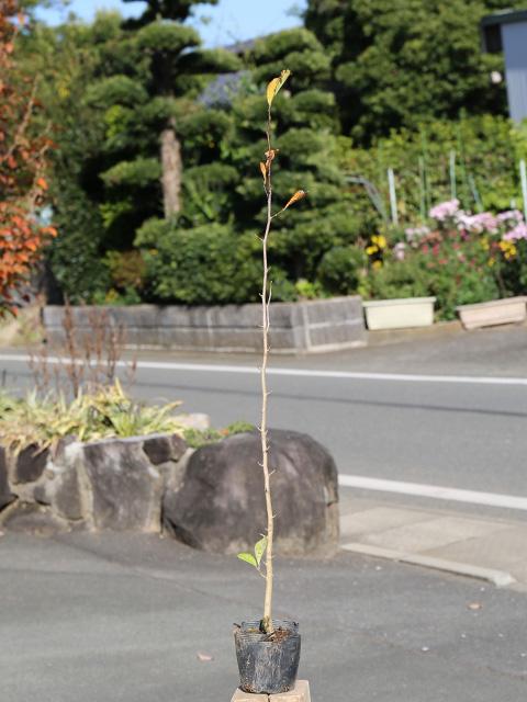 シデコブシ 0.5m10.5cmポット 12本セット 送料無料【1年間枯れ保証】【春に花が咲く木】
