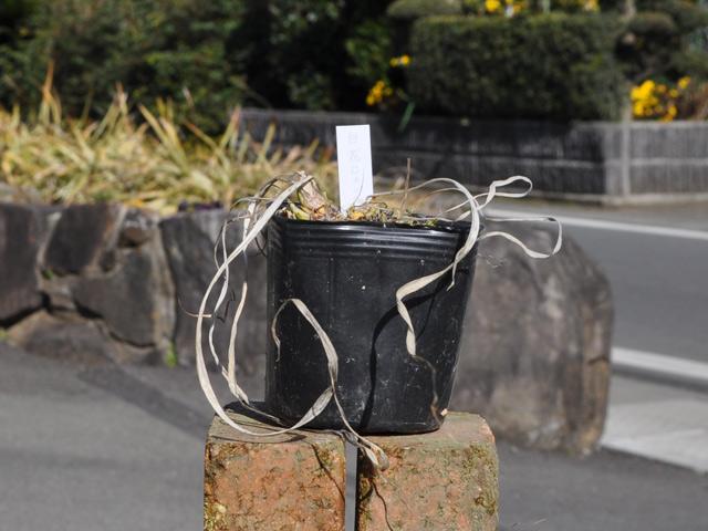 【1年間枯れ保証】【球根】ヒメシャガ白花 ~cmポット 6本セット 送料無料