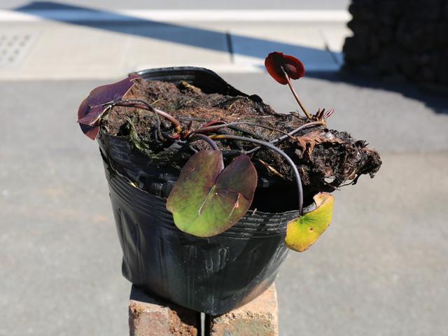 家庭でも育てやすい 温帯スイレン/ローズアレー(濃ピンク) 15cmポット 4本セット 送料無料【1年間枯れ保証】【水生植物】