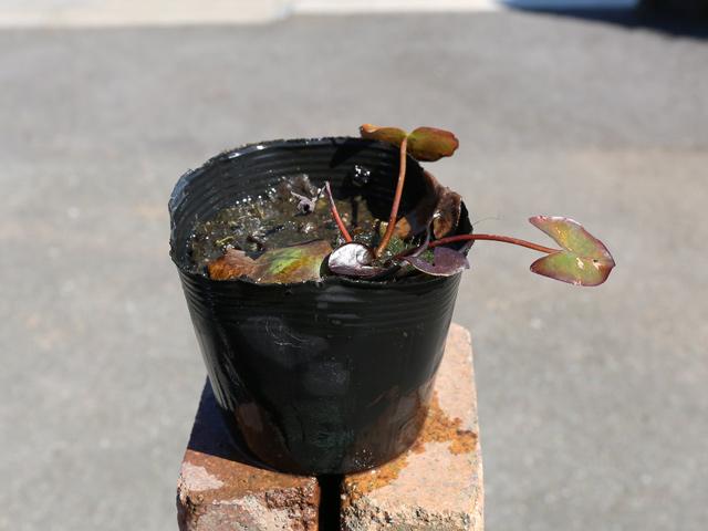 ヒメスイレン/赤 12cmポット 4本セット 送料無料【1年間枯れ保証】【水生植物】