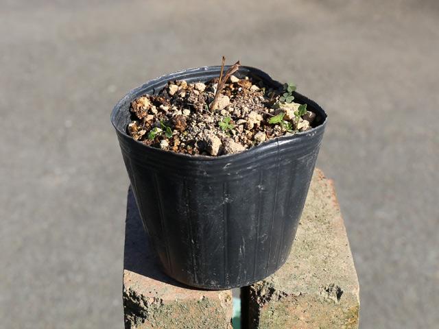 推奨 小形のスズラン ニホンスズラン 9.0cmポット 1年間枯れ保証 山野草 1本 メーカー直送