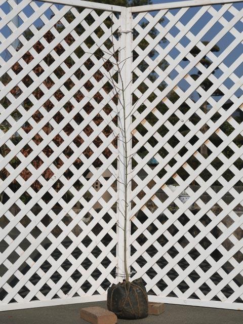 メープルシロップ サトウカエデ 1.2m露地 2本セット 送料無料【1年間枯れ保証】【街路樹&公園樹】