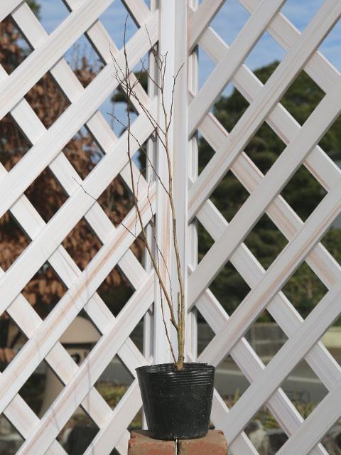 サルスベリ矮性 0.3m10.5cmポット 10本セット 送料無料【1年間枯れ保証】【夏に花が咲く木】