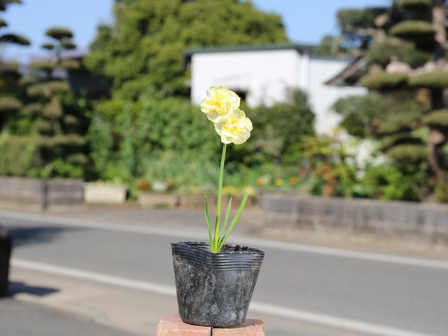 ミニスイセン/黄色 10.5cmポット 10本セット 送料無料【1年間枯れ保証】【球根】