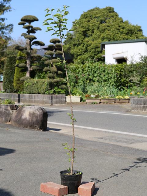 サクラ/エドヒガン 1.2m18cmポット 4本セット【1年間枯れ保証】【街路樹&公園樹】