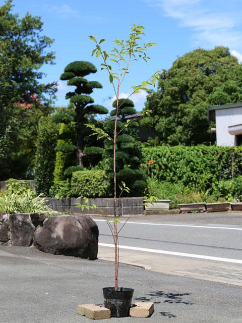 サクラ/エドヒガン 1.5m18cmポット 4本セット 2セット 送料無料【1年間枯れ保証】【街路樹&公園樹】