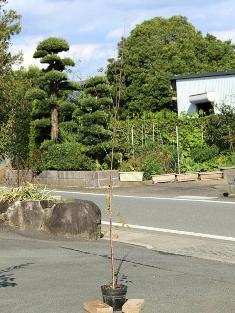 サクラ/エドヒガン 1.7m18cmポット 4本セット 2セット 送料無料【1年間枯れ保証】【街路樹&公園樹】