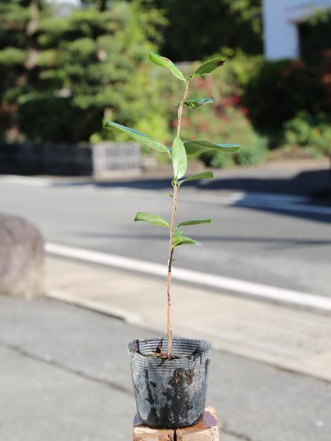 【1年間枯れ保証】【生垣樹木】ツバキ/ヤブツバキ 0.3m10.5cmポット 30本セット 送料無料