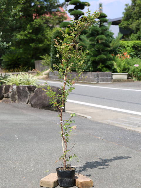 トキワマンサク青葉赤花 1.2m15cmポット 5本セット【1年間枯れ保証】【生垣樹木】