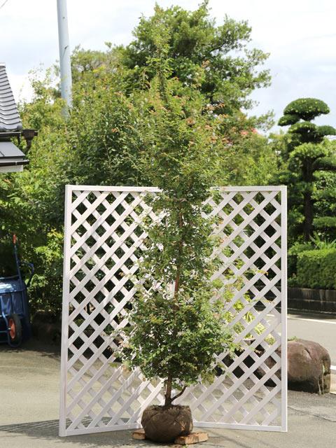 トキワマンサク青葉赤花 2.5m露地 1本【1年間枯れ保証】【シンボルツリー常緑】【配達指定不可/大型商品】