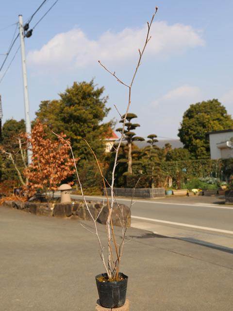 トサミズキ 0.6m15cmポット 8本セット 送料無料【1年間枯れ保証】【春に花が咲く木】