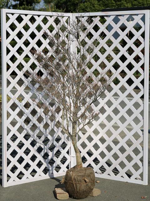 スズランのような花 ドウダンツツジ 1.5m露地 1本【1年間枯れ保証】【春に花が咲く木】