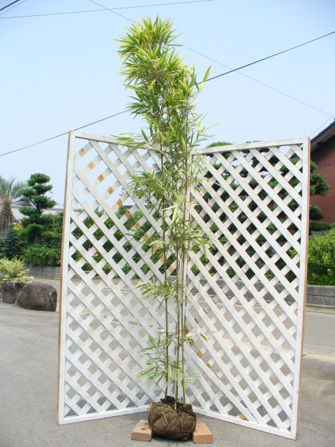 タケ/スズコナリヒラ 2.0m露地 1本【1年間枯れ保証】【竹類】【配達指定不可/大型商品】