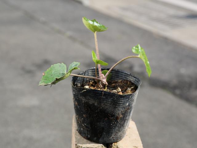 光沢のある葉 ツワブキ 10.5cmポット 1本【1年間枯れ保証】【下草】