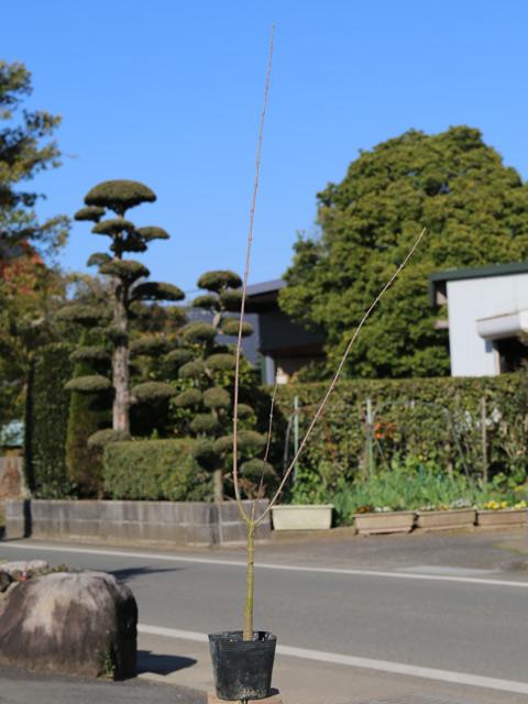 トウカエデ 0.8m10.5cmポット 25本セット 送料無料【1年間枯れ保証】【街路樹&公園樹】