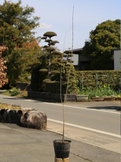 トウカエデ 1.0m15cmポット 8本セット 送料無料【1年間枯れ保証】【街路樹&公園樹】