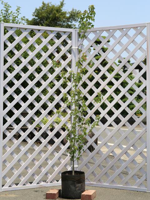 日本全国 送料無料 放任しても乱れない トウカエデ 1.5m露地 1本 1年間枯れ保証 公園樹 直営店 街路樹
