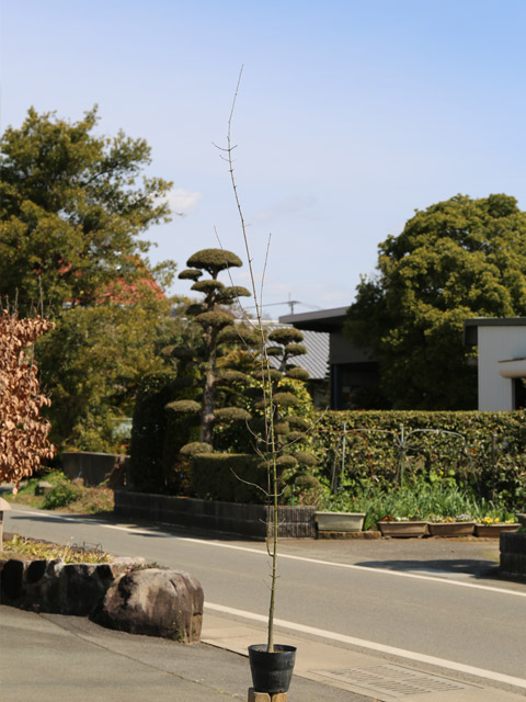 トウカエデ 1.7m15cmポット 5本セット【1年間枯れ保証】【街路樹&公園樹】